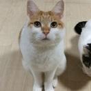 *憎めない可愛さが持ち味の猫* 茶白/男の子/2010年生まれ ≫...