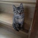 所沢市の方限定 里親募集 推定2カ月のキジトラの子猫(オス)