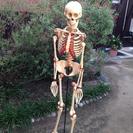 人体模型−骨格模型−「全身骨格/標準型」