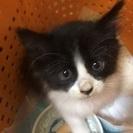 長毛黒白子猫