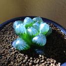 ハオルチア オブツーサ トゥルンカータ 「多肉植物 ハオルシア」