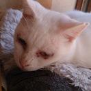 両目が見えないけど人好きな白猫