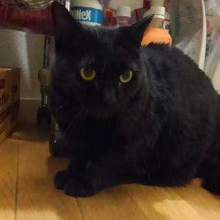 優しい黒猫うるる(オス、推定4~5歳)