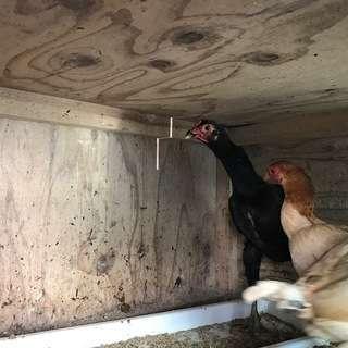 軍鶏と小軍鶏の里親を急募しています!!