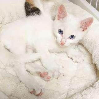 幸せの白ブルーアイ★白い仔猫