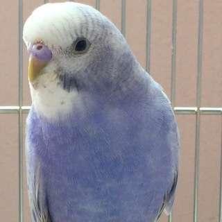 【迷子】【富山県】★ブルーのセキセイインコ探してます★