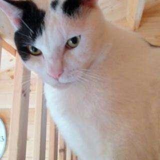 牛柄白黒猫オス推定3~4歳