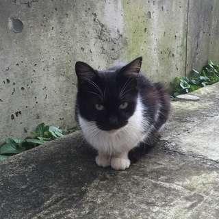 珍しい模様の白黒ネコちゃんです。※避妊手術済、エイズ・白血病検査済...