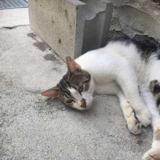 キジシロのオスネコちゃんです。 ※エイズ・白血病検査済み(陰性)