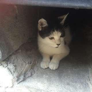 シロクロのメスネコちゃん(親猫)です。 ※避妊手術済、エイズ・白血...