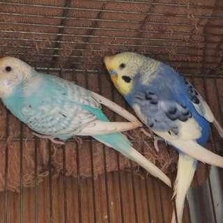 セキセイインコ 2羽