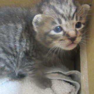 ■生後約2週間 保護子猫の里親募集!!