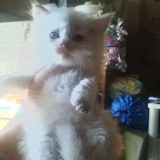 【募集終了】 子猫の里親募集 毛の長いオス猫一匹の画像