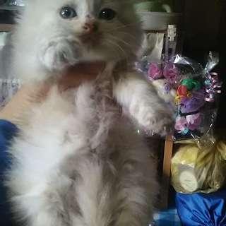 【募集終了】 子猫の里親募集 毛の長いオス猫一匹 - 猫