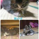 生後2ヶ月位の子猫の里親募集