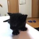 可愛いメスの黒猫