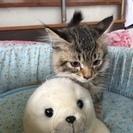 【子猫里親さん募集】子猫2か月*毛が長くもふもふ*トイレし…