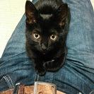 黒猫ミーちゃん、ちょっと大きくなっちゃったけど優しいご家族募集中