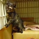 【募集修了】黒サビ子猫のメス 里親募集