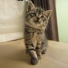 【募集終了】 子猫の里親募集 メスの子猫 残り一匹!の画像