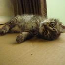 【募集終了】 子猫の里親募集 メスの子猫 残り一匹! - 熊谷市