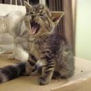 【募集終了】 子猫の里親募集 メスの子猫 残り一匹! − 埼玉県