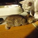 【募集終了】 子猫の里親募集 メスの子猫 残り一匹! - 里親募集