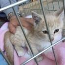 急募!生後2ヶ月過ぎ 可愛い子猫ちゃん