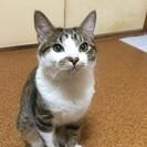 生後6ヶ月 キジ白 オス 子ネコ 甘えんぼ カギしっぽ【草…