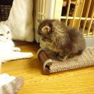 【募集終了】子猫の里親募集 毛の長い~メス こにゃんこ - 猫