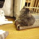 【募集終了】子猫の里親募集 毛の長い~メス こにゃんこ − 埼玉県