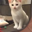 頭の模様がチャーミングな白子猫 2ヶ月
