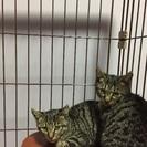 生後2〜3ヶ月の子猫 キジトラ