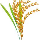あきたこまち減農薬玄米30キロ8000円