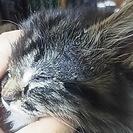 【募集終了】子猫の里親募集 毛の長い~メス こにゃんこ - 里親募集