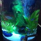 熱帯魚 ネオンドワーフレインボー 3匹