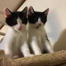 生後2か月のオスの子猫2匹里親募集してます。