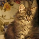 【募集終了】子猫の里親募集 毛の長い~メス こにゃんこの画像
