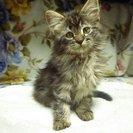 【募集終了】子猫の里親募集 毛の長い~メス こにゃんこ - 熊谷市
