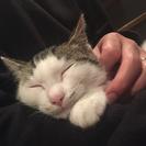 6月末産まれ、人も猫も大好きな男の子です。 - 山形市