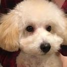 6ヶ月トイプードル子犬♂