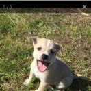 2ヶ月の子犬里親さん探してます!