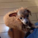 【訳あり】トイプードルの子犬(メス)