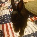 生後1年のミニウサギ(黒)です