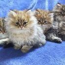 ペルシャチンチラの仔猫5匹☆10月5日生まれ