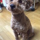 2歳5ヶ月のとても元気な男の子のトイプードルです! - 犬