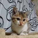 三毛猫メスの あんず  2ヶ月
