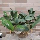 ラン:タイミンセッコク(Den.speciosum)の開花大株です