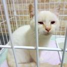 白い子猫 6か月 女の子の里親さん募集 里親さん決定しました!