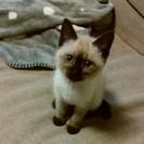 H28.10月生まれメス子猫。新しい飼い主様を募集します。